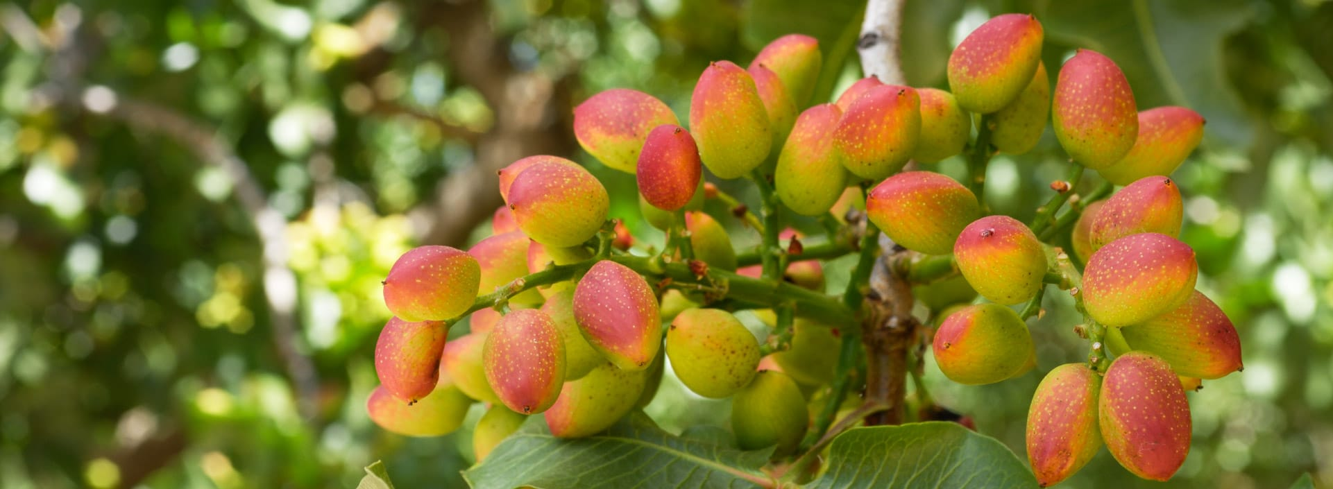 Close up of Ripening Pistachio on Tree