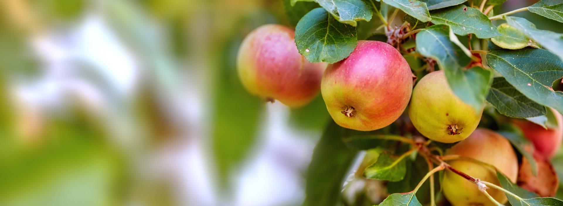 fresh apples in garden