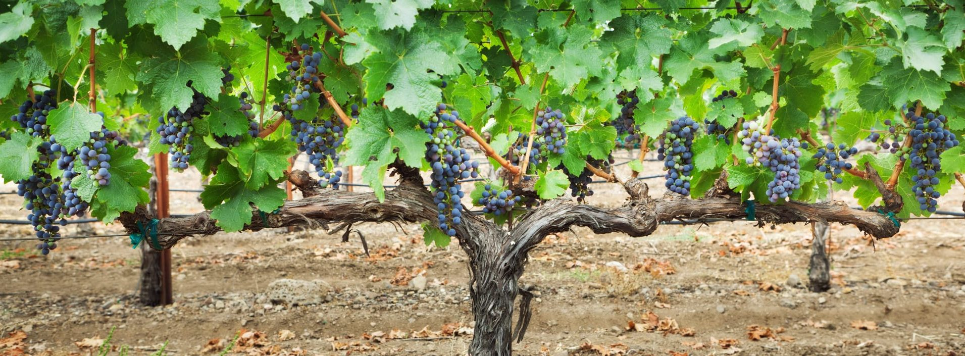 Wine grape in vineyard