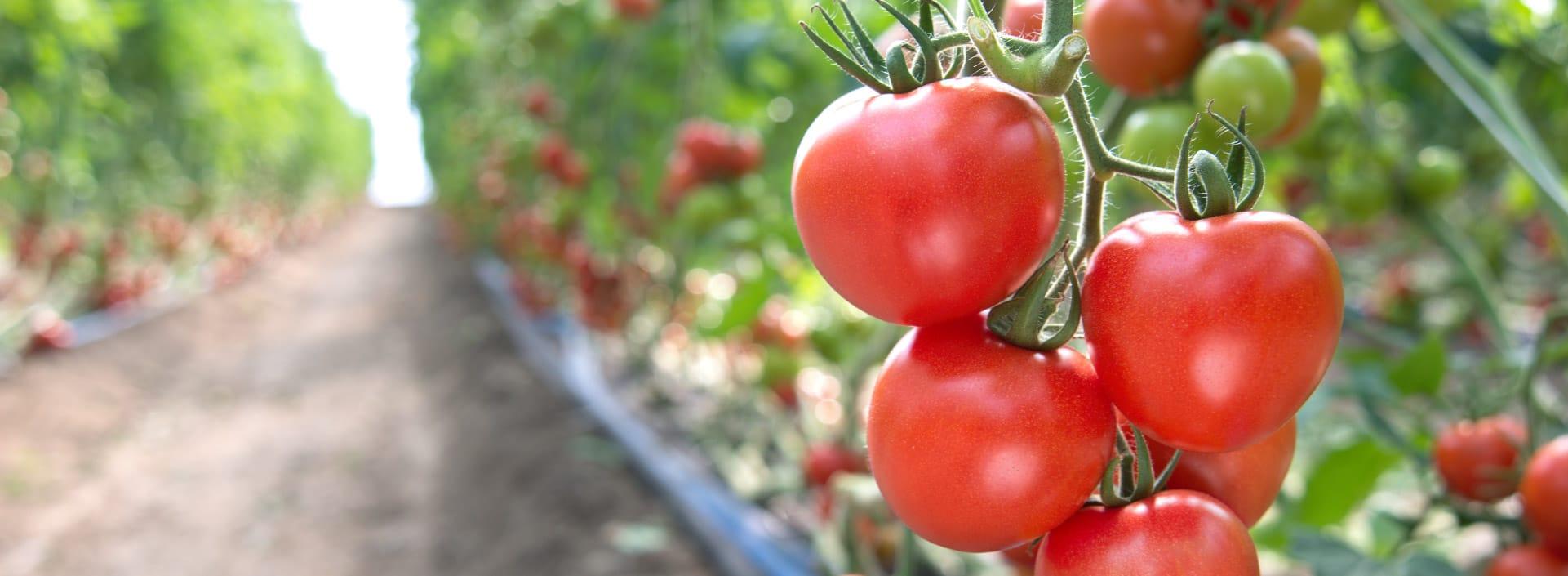 Vine ripened tomatoes header