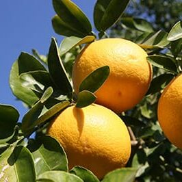 grapefruit-tree