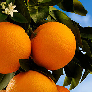 Citrus Sinesis thumbnail